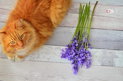 Blue Bells and Cat (prettyredglasses.com) Tags: flowers wild flores nature bluebells cat spring lilacs gingercat lilas purplelilacs flowersphotography fotografiaflores lilasmoradas