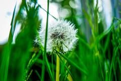 Long Grass (williams19031967) Tags: blue sky plant blur flower macro field yellow closeup clouds weeds focus pretty all dof close bokeh outdoor sony saints cybershot dandelion spire depth a7 hallows wellingborough