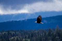 IMG_4070 (mechlerphotography) Tags: bald eagles comox