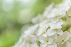 Hydrangea  (Moru.) Tags: flowers white green hydrangea   accent
