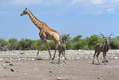 A busy day at the waterhole (anacm.silva) Tags: africa wild naturaleza nature wildlife natureza giraffe namibia etosha kudu frica girafas etoshanationalpark nambia
