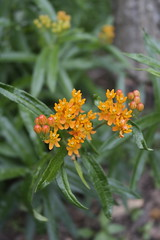 Asclepias Tuberosa (Flowers Galore) Tags: flowers nature garden spring butterflyweed asclepiastuberosa beeattractant orangebutterflyweed perennialbloomer antattractant