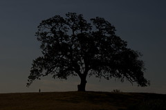 The Watcher (blueteeth) Tags: oaktree dusk silhouette figure standing solitary mysterious