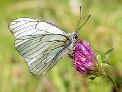 P7020090 (turbok) Tags: baumweislingaporiacrataegi insekten schmetterlinge tiere c kurt krimberger