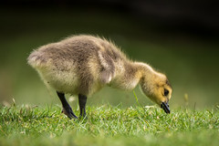 Canada Gosling (Maria-H) Tags: uk england cheshire unitedkingdom panasonic gb gosling trafford canadagoose dunhammassey 100400 gh4 dmcgh4