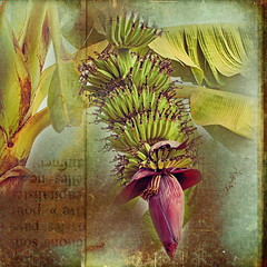 Banana Flower (ulli_p) Tags: flowers light green art texture nature thailand asia southeastasia colours banana textured isan aworkofart flickraward texturedphoto ruralthailand awardtree artofimages exoticimage canoneoskissx5