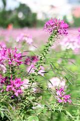 2016060807 (Yo Nguyen) Tags: cleome spiderflowers dalatcity hoatyip