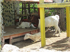 Pineville Motel, North Andros (Venture Minimalists) Tags: hotel goat motel bahamas andros