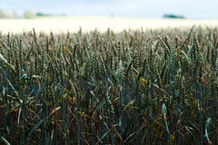 X56 - Husie Mosse - Sådd WEB (manuel ek) Tags: summer field skåne sweden crop fujifilm crops malmö 56mm fält sådd manuelekphoto