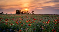 Poppies and Cornflowers (daniel_moeller) Tags: sunset sun nature landscape sonnenuntergang natur feld poppy poppies landschaft sonne mohn cornflowers mohnfeld kornblumen poppyfield sigma60mmf28dn sonyalpha6000