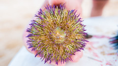 Purple Motion (GQMATTEO) Tags: sea brazil praia beach brasil mar bahia salvador urchin ourio