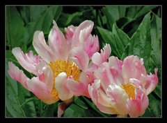 allen einen schnen Sonntag !!! (karin_b1966) Tags: plant flower nature garden blossom natur pflanze blume blte garten pfingstrose 2016 yourbestoftoday
