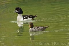 Pairing up (ChicagoBob46) Tags: barrowsgoldeneye goldeneye duck bird yellowstone yellowstonenationalpark