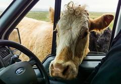 Friendly cattle (Domhnall Iain) Tags: cow cattle daft nosey eieio