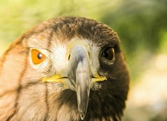 The lOOk (Ali Esm) Tags: nature canon eagle adler canon60d