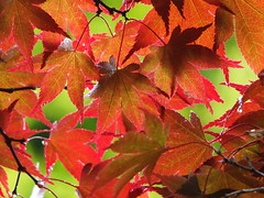 Beneath the Acer (sue_p32) Tags: red orange tree leaves arboretum acer acerpalmatum eastsussex week27 sheffieldparkgardens filltheframewithcolour 52in2016