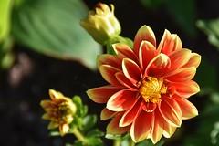 Open for business...in the setting sun (stevelamb007) Tags: flower garden illinois nikon bloom glencoe chicagobotanicgarden nikkor18200mm stevelamb flickriver d7200