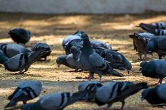 Je chante toujours pour toi de l'autre côté du mur. (- Ali Rankouhi) Tags: india bird love dove bangalore karnataka 2016 هند