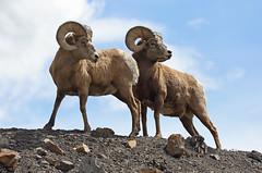 Proud Monarchs (ashockenberry) Tags: mountain nature sheep rocky alberta bighorn rams