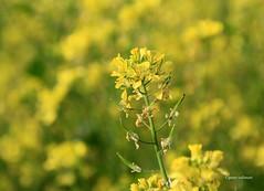 06-IMG_2431 (hemingwayfoto) Tags: blhen blte gelb landwirtschaft natur raps