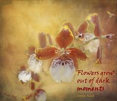 Flowers grow out of dark moments (Corita Kent) (boeckli) Tags: flowers orange plants dark moments colours orchids blossoms pflanzen grow blumen textures quotes colourful blooms bunt blten orchideen coritakent texturen poetography eln orangeno78