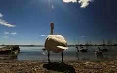 Early Summer 2016 (Richard Y.J.) Tags: beach water clouds boat swan bluesky lakeshore waterfowl