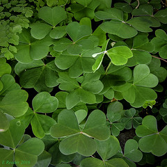 Green Clover (Oxalis acetosella) (Greatest Paka Photography) Tags: sanfrancisco green art museum modern flora moma museumofmodernart clover livingwall shamrock oxalisacetosella