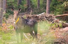Collared Cow (TofteTom) Tags: nature minnesota wildlife moose northshore northwoods wildlifephotography alcesalces minnesotamoose