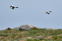 Tadorne de Belon (male et femelle) (ijmd) Tags: bird oiseau france bretagne ledebatz