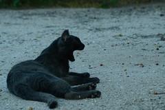 Yawning Stray (b_d_w_s) Tags: cute blackcat nikon naturallight yawning straycat unedited yawningcat nikond3100