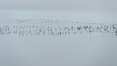 Usedom, Halbinsel Gnitz: Jagende Kormorane ber dem Achterwasser - Cormorants chasing fish in the Achterwasser lagoon (riesebusch) Tags: usedom halbinselgnitz