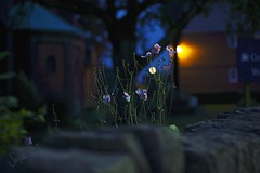 Rising/ Explored #14 (sonia.sanre) Tags: luces lights bokeh noche night flores flowers creciendo rising blossom