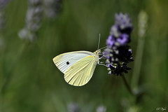 The time of lavender (Svetty2) Tags: flowers butterfly insect lavender pierisrapae cabbagewhite