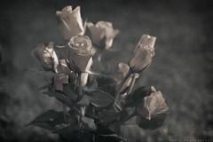 Vintage bouquet (thomas.modig) Tags: flower vintage bouquet splittone