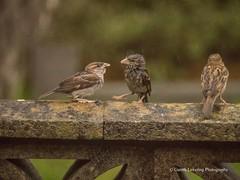 Feeding time in the Wind & Rain7 (Gareth Lovering Photography 3,000,594 views.) Tags: birds garden feeding wildlife feeder starling olympus sparrow 75300mm lovering em1 garethloveringphotography