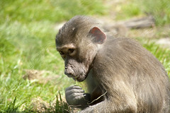 Through The Fence (stebbi84) Tags: travel green tourism nature grass animal denmark monkey den ape lonely safaripark knuthenborg