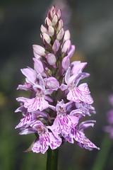 Dactylorhiza fuchsii (luka116) Tags: fleur juin suisse valais dactylorhiza 2016 dactylorhizafuchsii derborence orchidaces