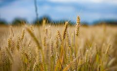 Sweet Wheat (Rolroo) Tags: france nature field zeiss canon t dof burgundy wheat farmland depthoffield mk2 crops grains cy 50mmf14 carlzeiss graan tarwe planart1450 contaxmount gignysursaone 5dmarkii cyadapter