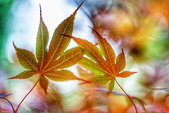 Just the two of us - maple leaves (JPShen) Tags: leaves leaf maple colorful bokeh justthetwoofus