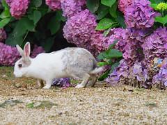 B6250561 (VANILLASKY0607) Tags: rabbit bunny bunnies nature animal japan photo wildlife wildanimal hydrangea rabbits rabbitisland wildrabbit okunoshima