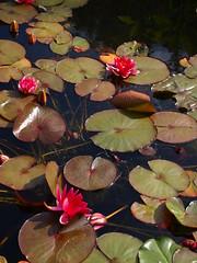 P6303721 (louisecrouch) Tags: reflection nature garden botanical outdoors pond waterlilies lilypads waterplants lilypond summergarden countrygarden pinklilies lilyflowers