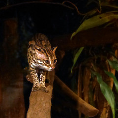 005 Night Safari - Leopard Cat (bjean21) Tags: singapore nightsafari leopardcat
