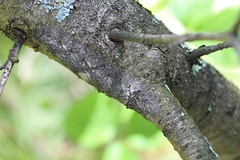 Amazing Camouflage (corey.raimond) Tags: camouflage blend blendin disguise tree treetrunk treetrunkcamouflage caterpillar wisconsin buckthorn insect lepidoptera tolype lasiocampidae disappear hide evolution naturalselection prey pattern nature ecology