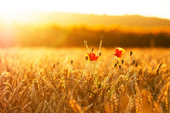 Sunset (Bruno MATHIOT) Tags: coquelicot poppies nature rays soleil sun sunset coucher hot chaud fleur outdoor extrieur bl sigma105 canon 760d sigma 105 alsace france french