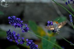 Moro sphinx (Pier-photography) Tags: macro nature sphinx photography photo nikon bugs papillon insecte correze moro zygene