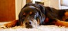 I think we can all relate (Jes Simpson) Tags: dog rottweiler moping sadface dogtired