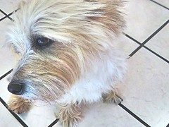 Lucian. (Silas_Xavier) Tags: dog white black texture face tile nose eyes profile paws sure cairnterrier snout