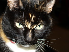 Picture of a cat - 1 (Tony Worrall Foto) Tags: pet brown cute nature smile face animal cat fur fun nice eyes furry kiss chat little head pat pussy whiskers beast katze sunlit puss gatto playful catz nicecat catseyes moggy catty catpicture lovelypussy