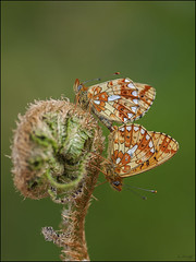 Pearl-bordered Fritillary  ( Mating pair ) (Grasping-air) Tags: