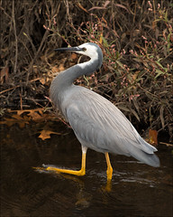 karkarook-park-1636-ps-w (pw-pix) Tags: white black bird heron water yellow grey australia melbourne victoria wading whitefacedheron moorabbin egrettanovaehollandiae heatherton karkarookpark